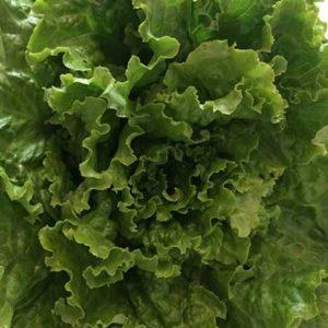 salade-batavia-blonde